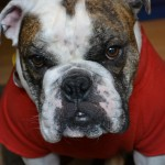 english bull dog,old english bull dog,bull dog