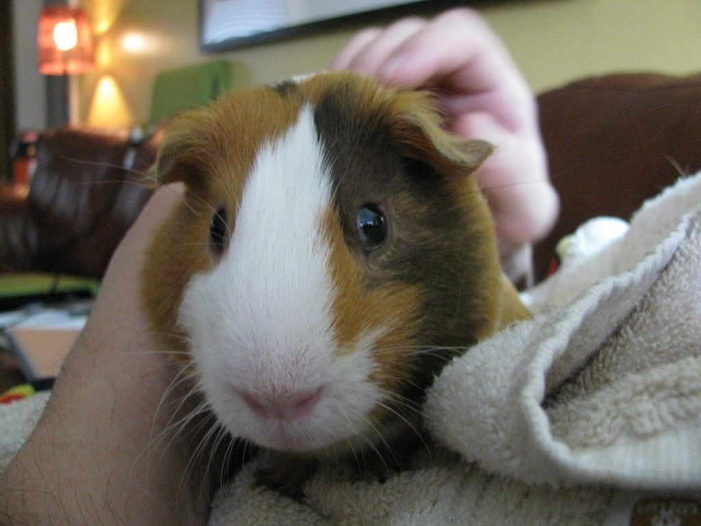 smooth coat guinea pig