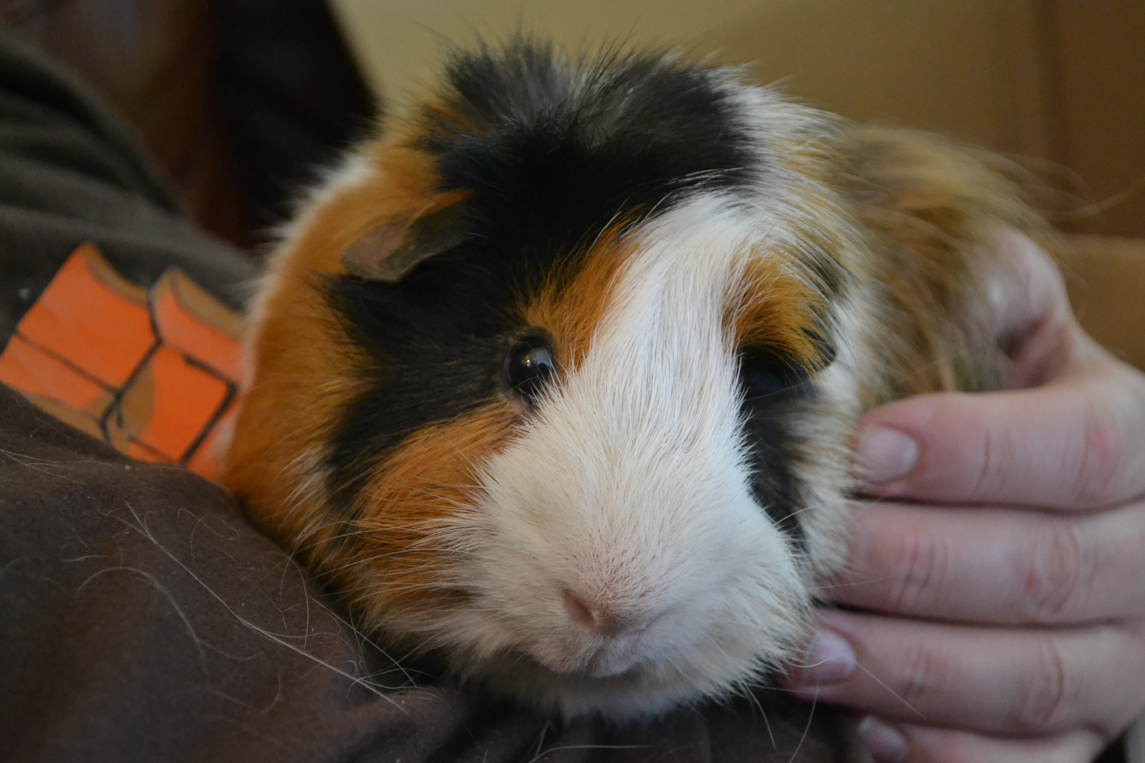 Long haired guinea pig - photo#11