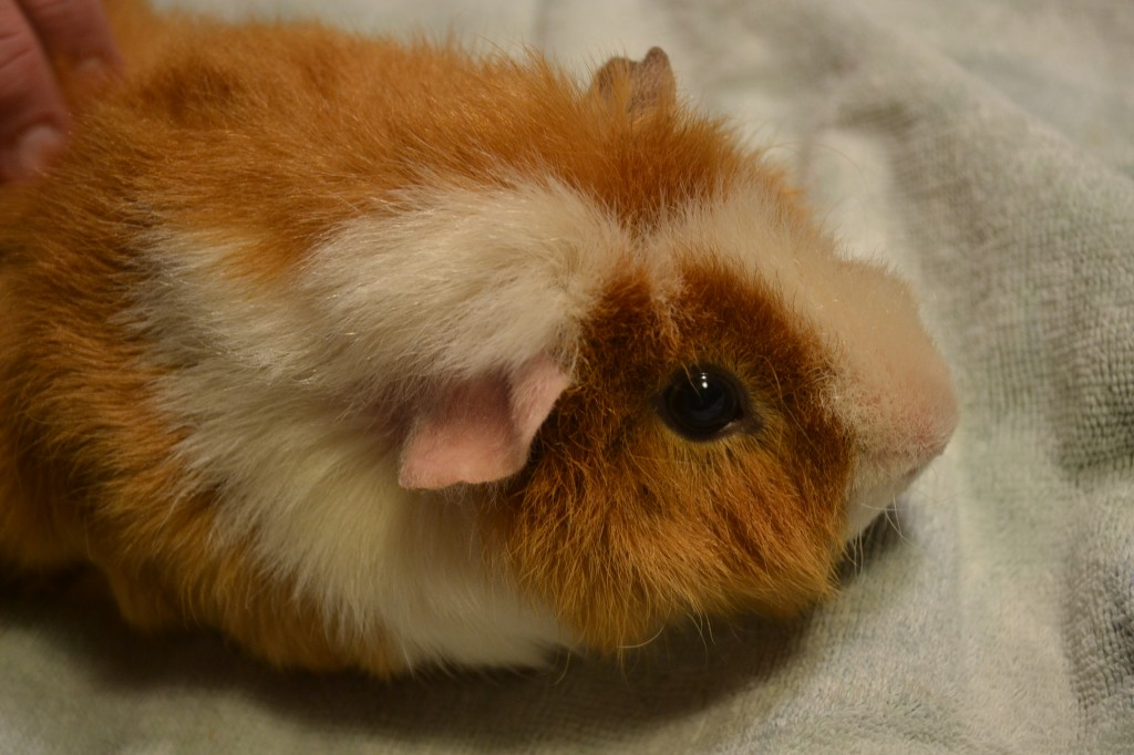 guinea pig wired hair