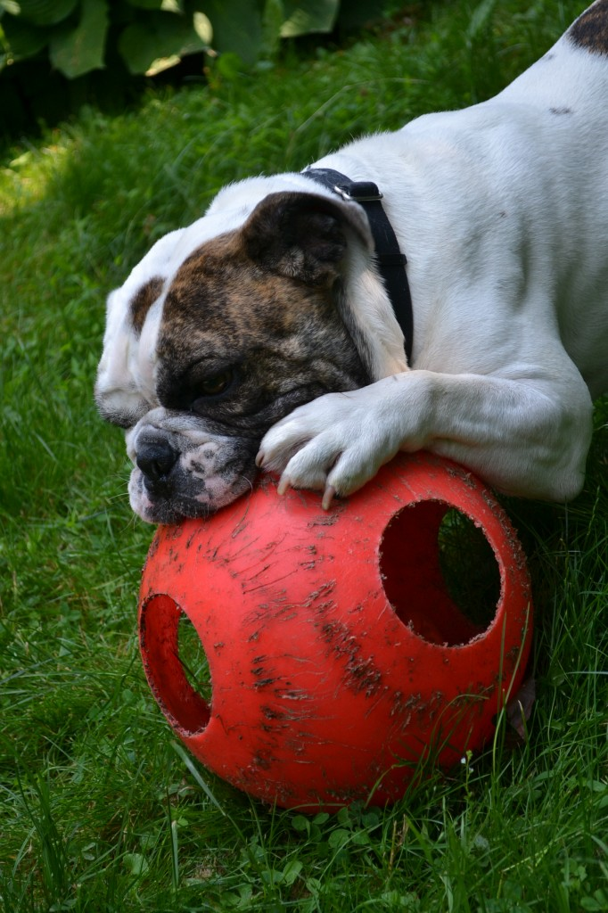 doy toy for bull dogs