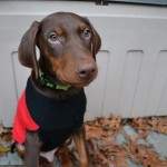Dog Sweater for a Doberman
