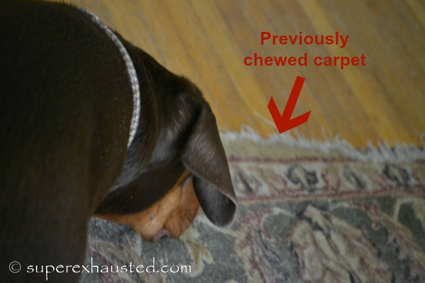 chewed carpet